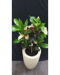 Croton In Fiber Pot 125 CM Height