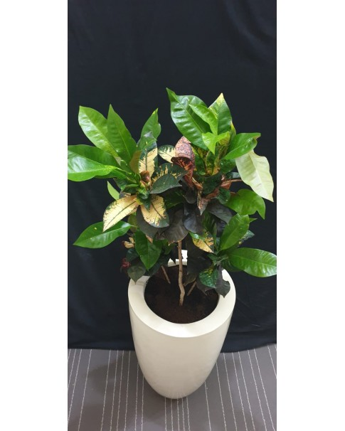 Croton In Fiber Pot 125 CM Height