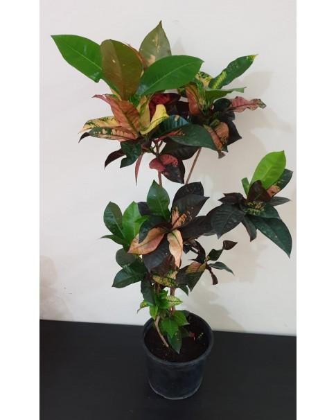 Croton Plant . 70 - 80 CM Height