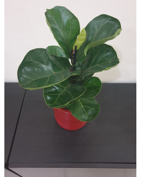 Fiddle Fig In Ceramic Pot 42 CM Height
