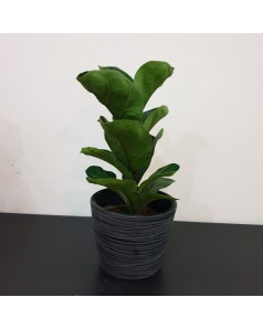 Fiddle Fig 40cm Height