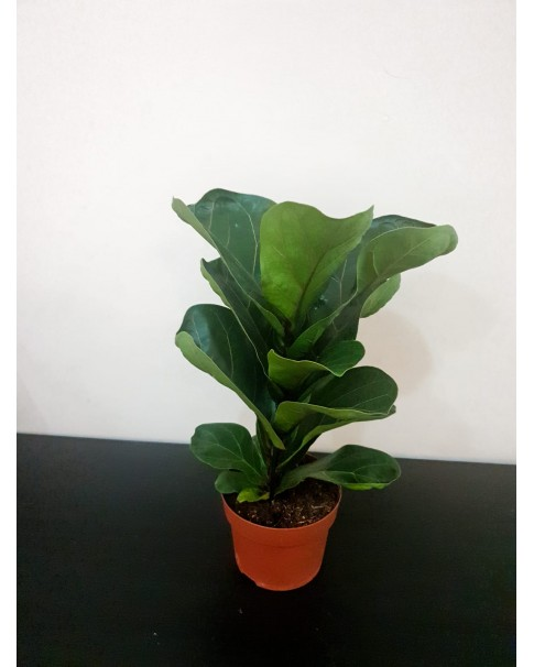 Fiddle fig  35cm