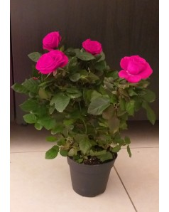 Rose Pink Indoor 30 CM Height