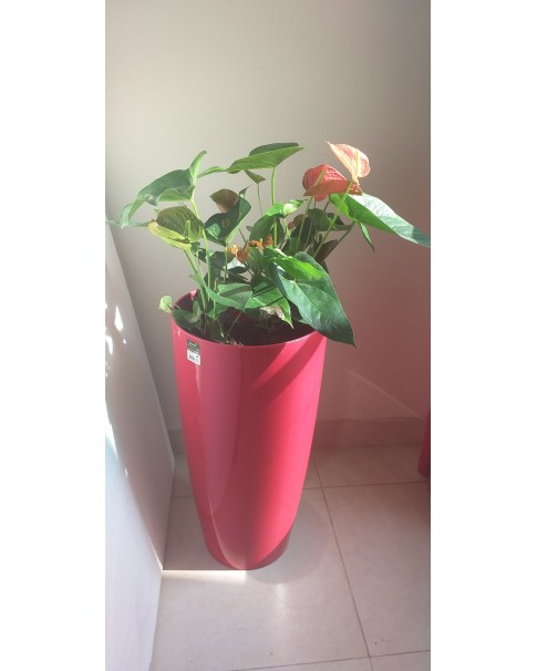 Anthurium in Vertical Fibre Planter -Vertical 1 Mtr Total Ht