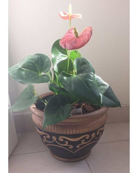 Anthurium in Assorted Design Pot -50 CM Total Height