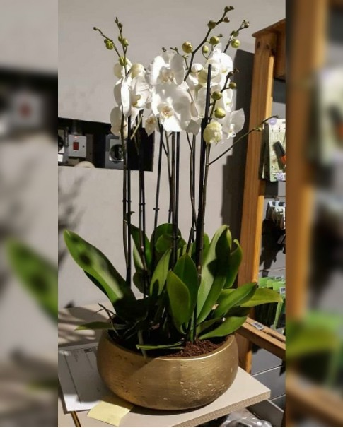 Orchid White With Ceramic Pot