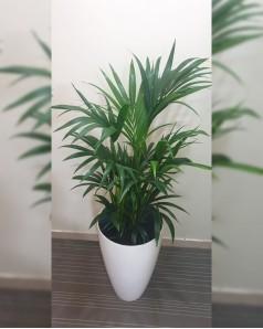 Kentia Palm In Fiber Planter