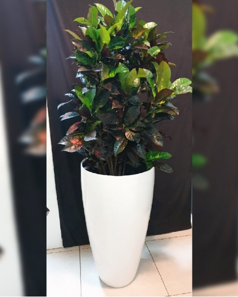 Croton in Fiber Cylindrical Pot.