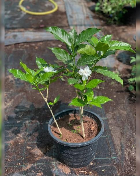 Tabernaemontana divaricata (Crepe Jasmine)
