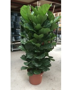 Fiddle Fig 180 CM Height