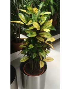 croton in steel pot - 80 CM Total Height