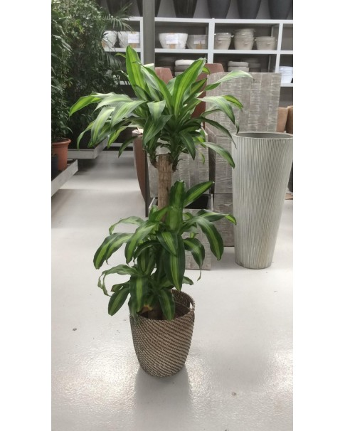 Dracaena Pre order only
