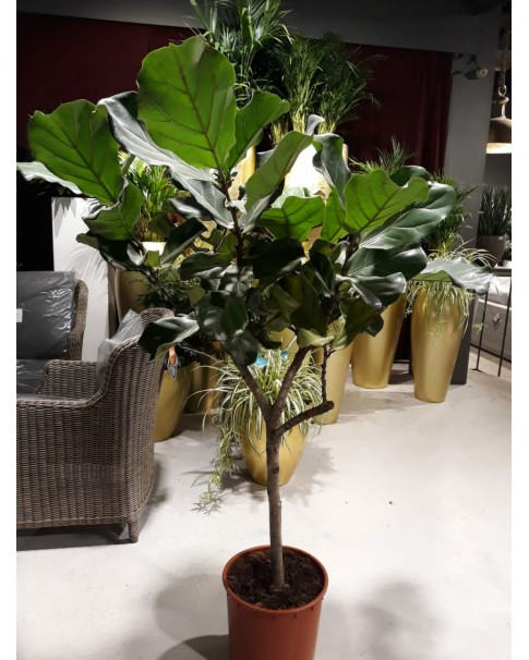 Indoor fiddle fig tree 150cm height