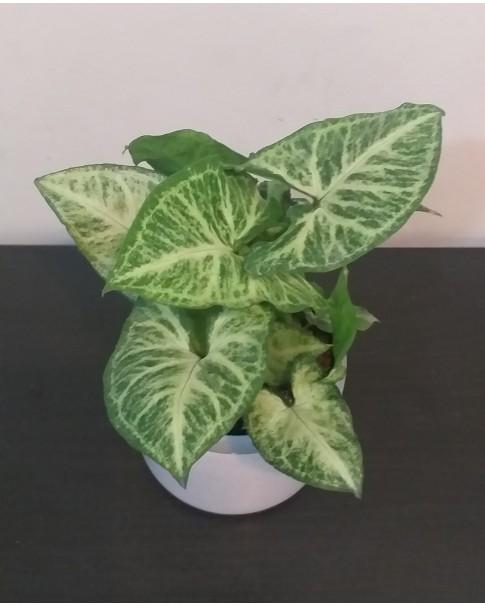 Syngonium  in ceramic pot . 30 CM Ht