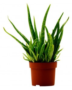 Aloe Vera 30 CM Total Height - Outdoor Type