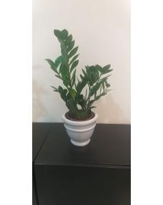 Zamioculcus in Ceramic Pot 40 - 50 cm Height