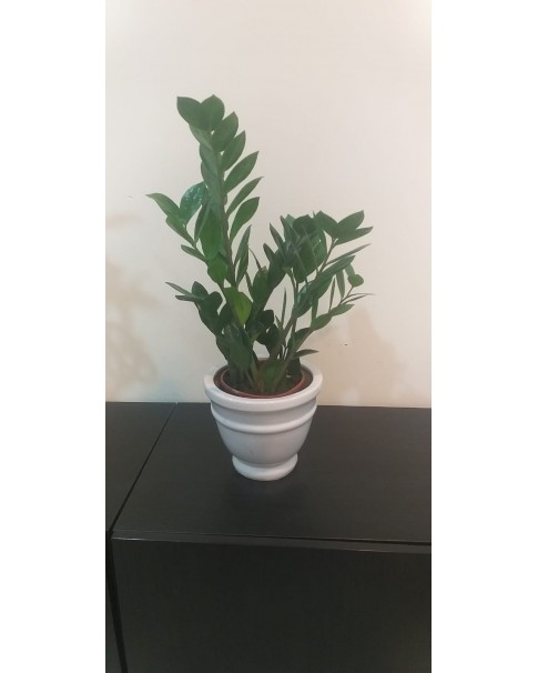 Zamioculcus in Ceramic Pot 40 - 50 cm Height