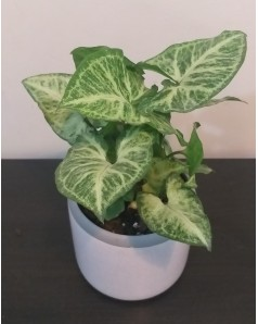 Syngonium  Potted - 30 CM