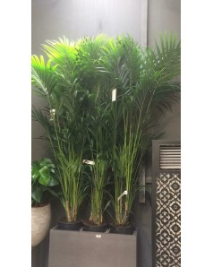 Kentia palm 210 cm up