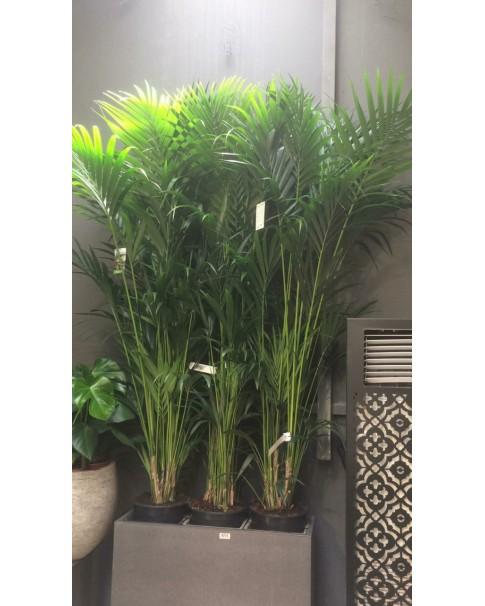 Kentia palm 210 cm up