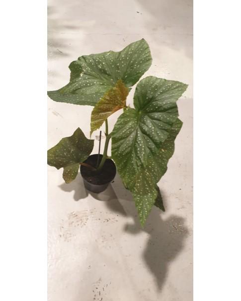 Begonia .50 cm height
