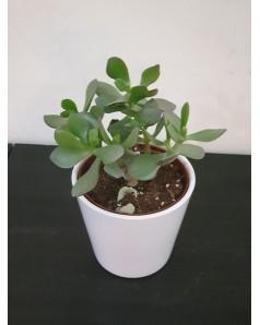 Crassula ( Jade plant ) in Ceramic Pot,  20 cm height.