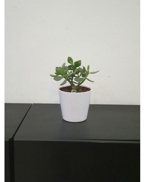 Crassula ( Jade plant ) in Pot,  20 cm height.