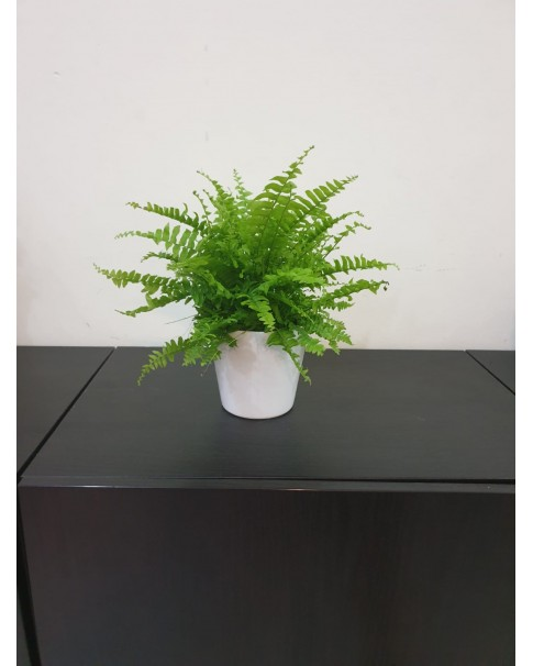 Fern in Ceramic Pot. 28 cm height.