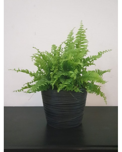 Fern in Ceramic Pot. 35 cm height