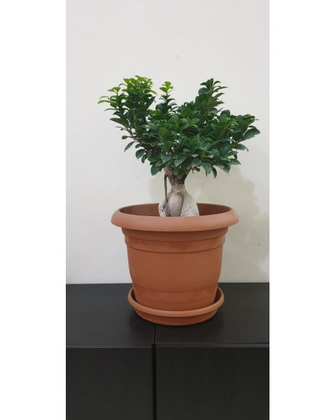 Ficus Bonsai Potted-  60 cm total height