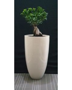 Ficus bonsai. Plant height 40 cm. Total height 1 Meter