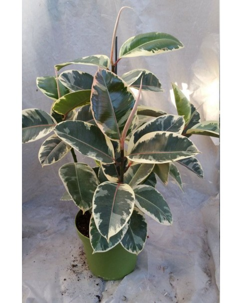 Rubber plant ( Variegated ) 80 CM Height