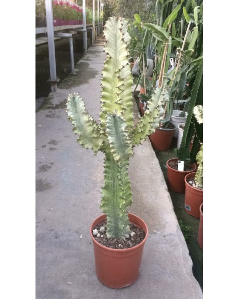 Cactus 70 -80 cm height