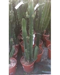 Cactus 120cm height