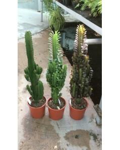 Cactus 50 cm height
