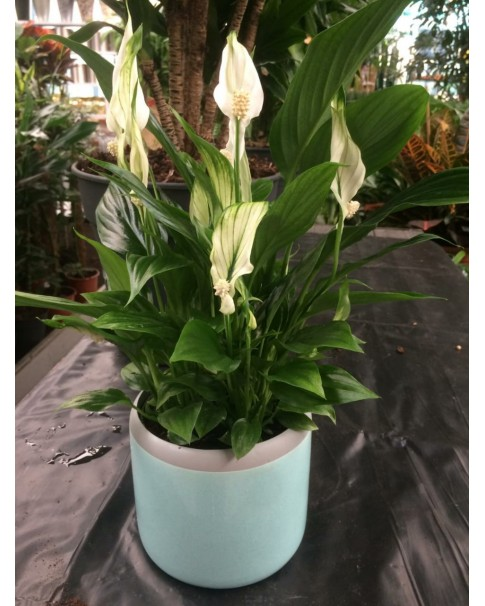Peace Lilly in Assorted Pot . 45 CM Ht