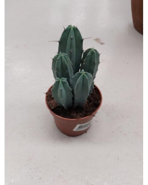 cactus 20cm height