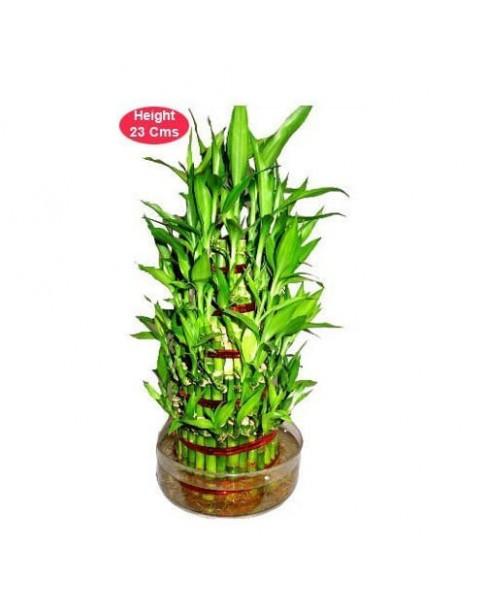 Lucky bamboo - 3 Layer