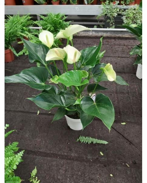 Anthurium White 50 to 55 CM Height
