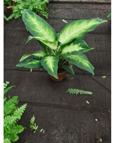 Dieffenbachia Camilla 30cm