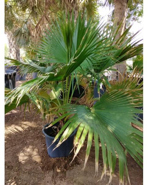 Livistona palm