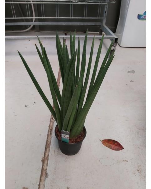 Sansevieria Cylindrical