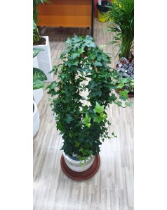 Hedera 4 Stick 1m Height With Pot