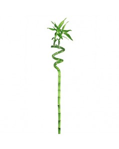 Bamboo - Lucky - Single Stem 60 CM