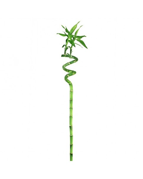Bamboo - Lucky - Single Stem 100 CM