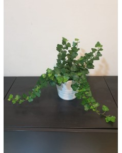 Hedera Potted
