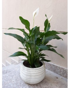 Spathiphyllum ( Peace Lily ) 55 CM in Assorted Pot