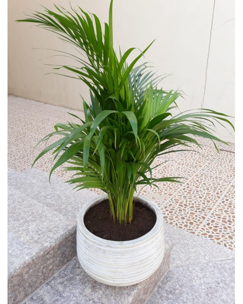 Areca Palm Potted 80 CM to 1Mtr Height