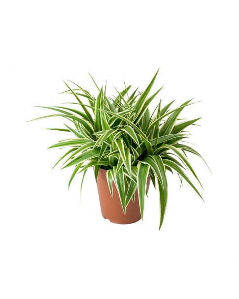 Chlorophytum 30 cm ht