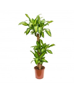 Dracaena Massangeana 3 Stem 120 CM Total Height